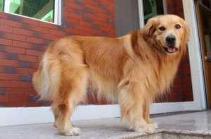 狗狗阴道脱出的原因、症状、诊治方法