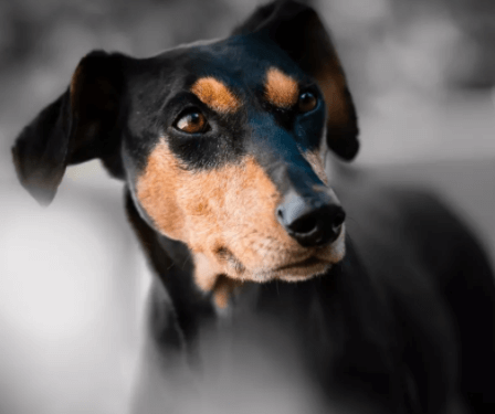 什么宠物狗最聪明?宠物狗智商排行榜!