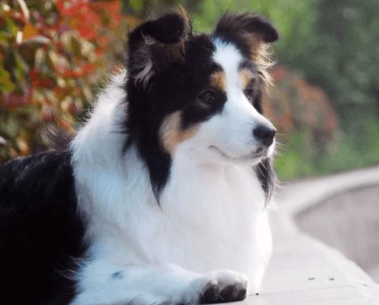 什么宠物狗养的人最多?宠物狗热度排行榜!