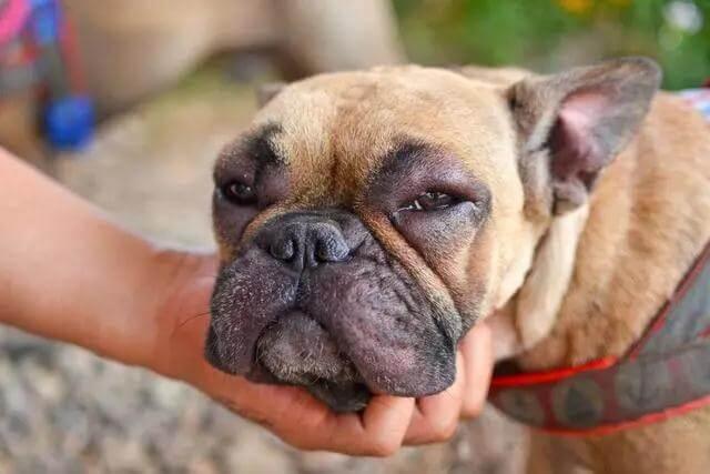 狗狗脸肿胀怎么办?先弄清楚原因才能对症下药!