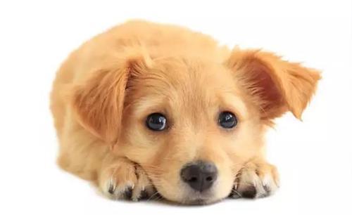 宠物犬居然搂抱照料生病小主人