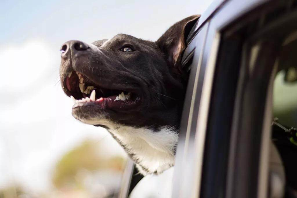 开车带狗狗回家过年需要注意些什么?