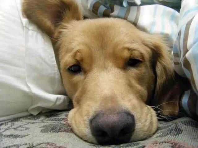 狗狗有这些症状可能是犬心丝虫病,主人可要注意了!