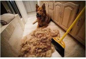 狗狗掉毛的几大原因及解决办法!