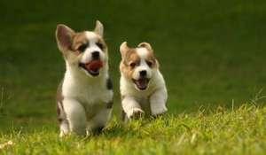 如何防治狗狗的蛔虫病呢?