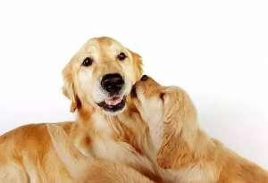 母犬外阴炎的病因与治疗方法
