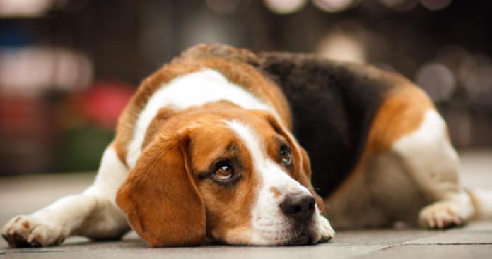 怎么正确喂养比格犬?
