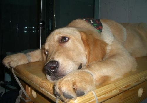 如何预防犬瘟热?
