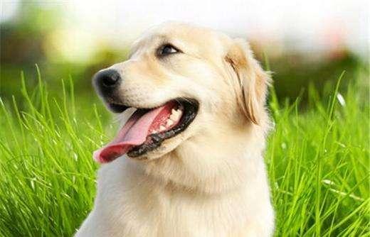 狗狗传染性肝炎症状及防治