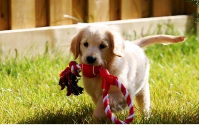 怎样判断狗狗的智商?