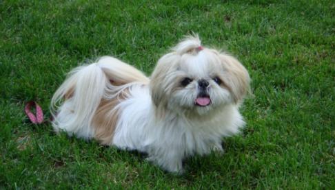 如何区分马尔济斯和西施犬?它们有什么区别?