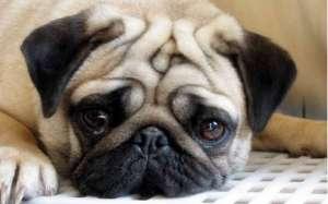 巴哥犬好养吗?