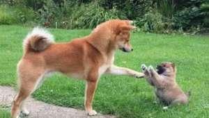 狗狗怀孕了吃什么好?狗狗怀孕了就这样吃!