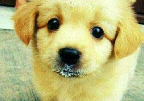 小狗可以喝牛奶吗? 小狗饲养注意事项!