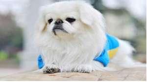 京巴狗身上为什么臭?京巴有体味怎么办?