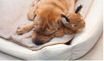 狗狗感冒流鼻涕可以吃板蓝根吗?
