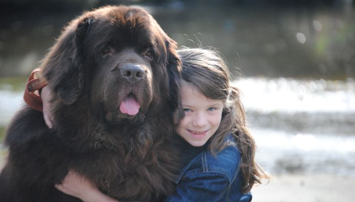 如何训练纽芬兰犬大小便?纽芬兰犬训练方法!