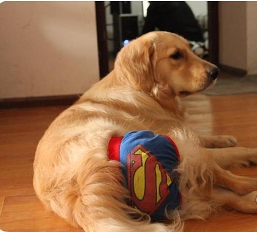 狗狗经期应该注意什么?
