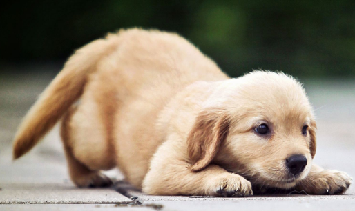 狗狗为什么总是流口水?狗狗流口水原因!