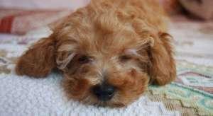 泰迪母犬多年不孕是怎么回事?