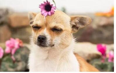 宠物狗会季节性过敏吗? 狗狗3种季节性过敏的表现!