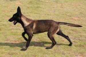 马犬幼犬期训练八条标准!