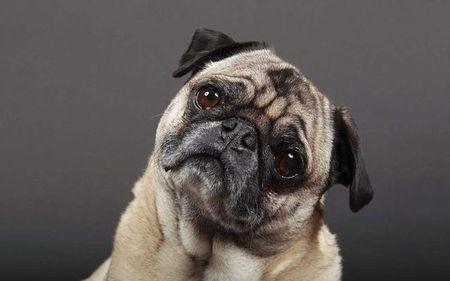 宠物狗歪头杀你了解多少? 小心是脑部疾病发作!