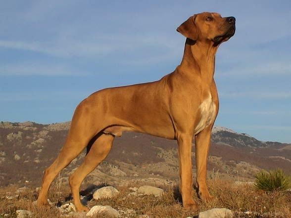 罗得西亚脊背犬没有战斗力?