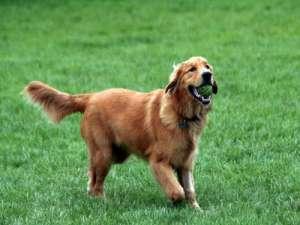 如何训练金毛犬跳远?